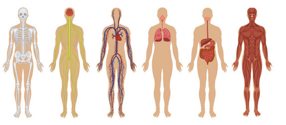 human body organ systems - ssds science2014/5775, Human Body